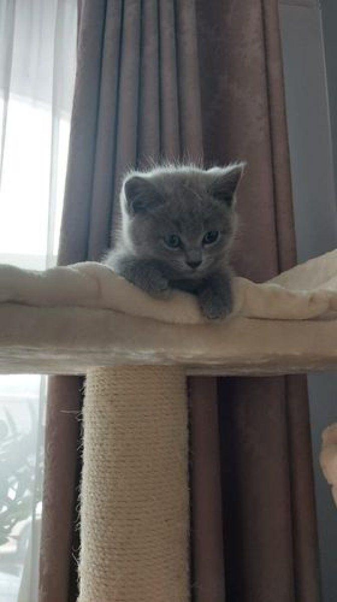 Zapraszam do rezerwacji kotów Brytyjskich krótkowłosych.